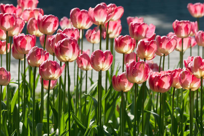Molti tulipani rossi luminosi nell'ambito di luce solare della molla fotografia stock
