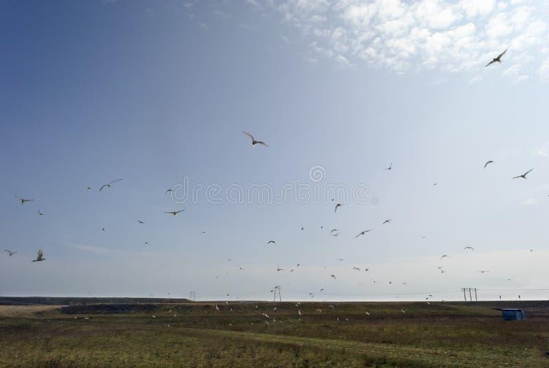 Molti uccelli che volano nel cielo islandese sopra un campo immagine stock libera da diritti