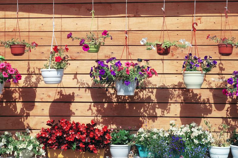 Molti vasi da fiori con la petunia che appende contro la parete di legno marrone della casa immagine stock libera da diritti