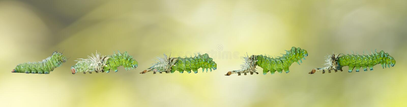 Molting caterpillar stage of Atlas butterfly atlas; attacus stock image