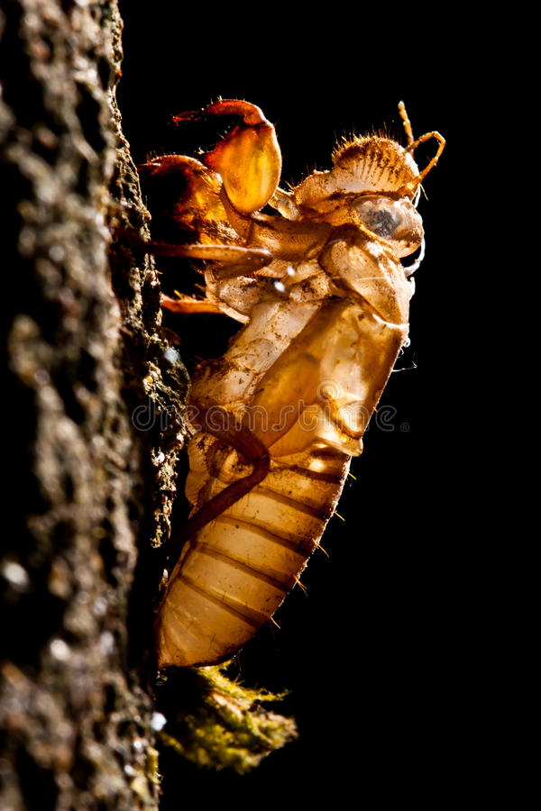 Download Molting Cicada's Natural Growth. Stock Photo - Image of splitting, beautiful: 24784618