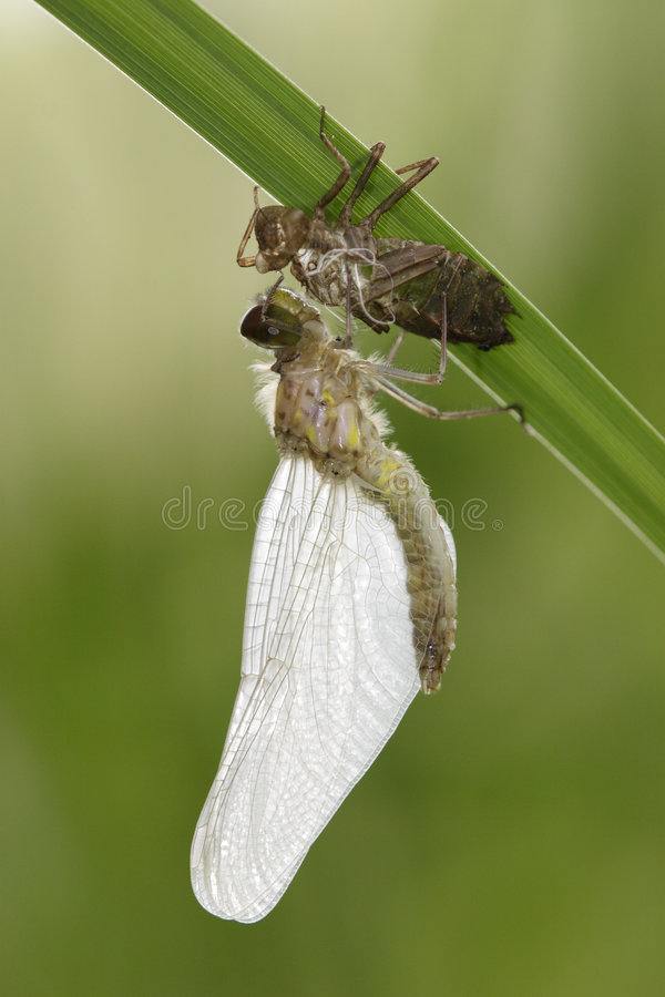 Download Molting Dragonfly stock image. Image of growth, rebirth - 5260529
