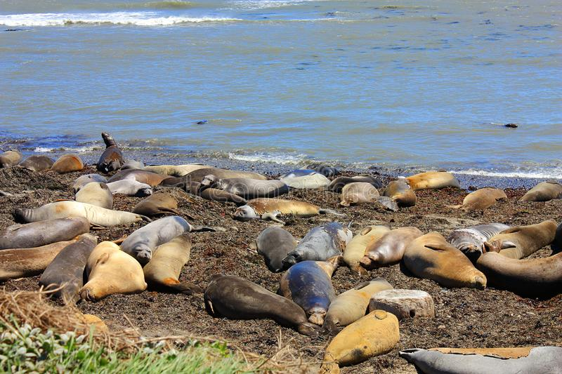 Molting Female and Juvenile Elephant Seals on the Pacific Coast, Ano Nuevo State Park, California, United States. Female and juvenile elephant seals are the stock photography