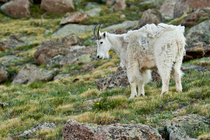 Download Molting Goat stock photo. Image of watching, watch, meadow - 25533760