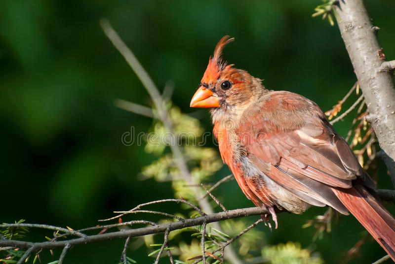Download Molting Northern Cardinal stock image. Image of limb - 24162149