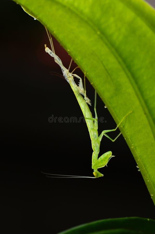 Molting of Praying mantis stock photos