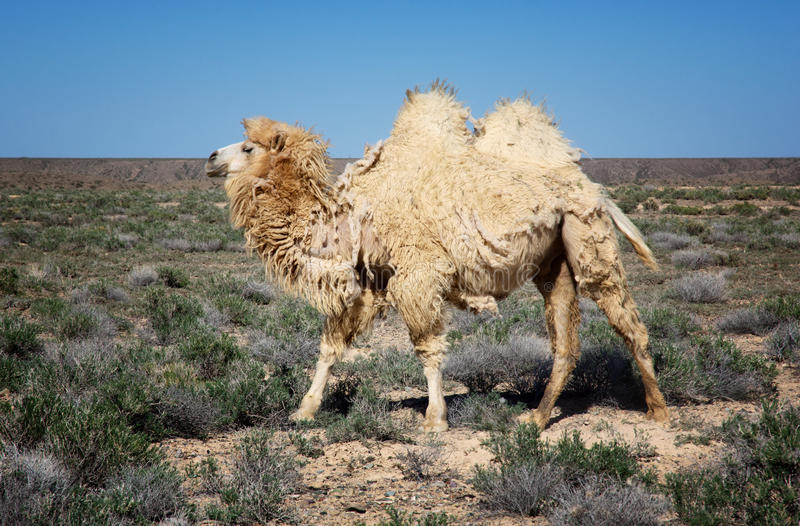 Molting white bactrian camel stock images