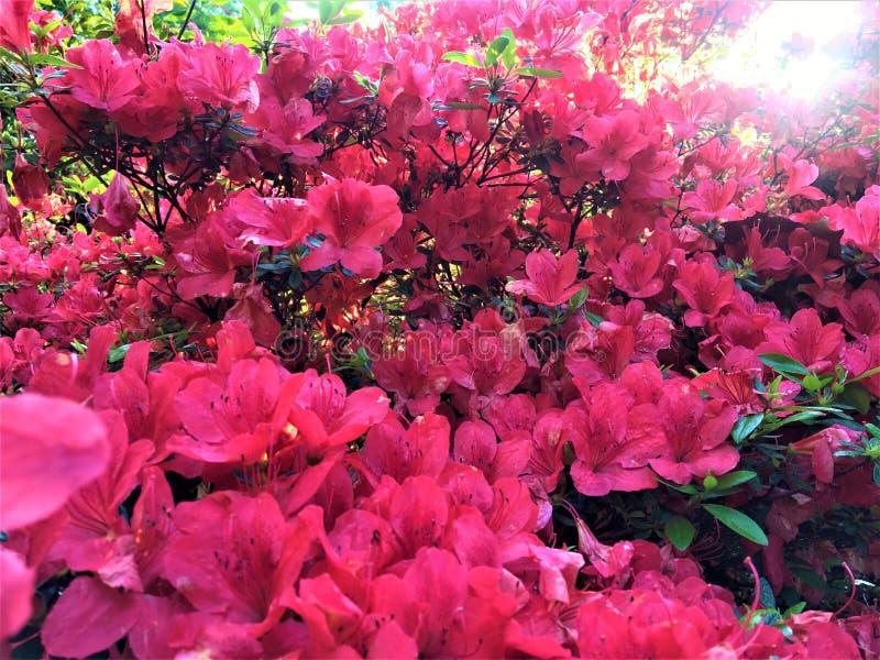 Moltitude dei fiori rosa, della molla, della luce brillante, della favola e della bellezza immagini stock libere da diritti
