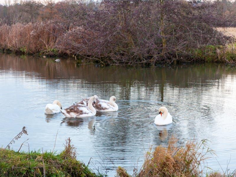 Moltitudine d'alimentazione del pacchetto del gruppo del fiume del lago dei cigni dei cigni acqua di superficie fotografia stock libera da diritti