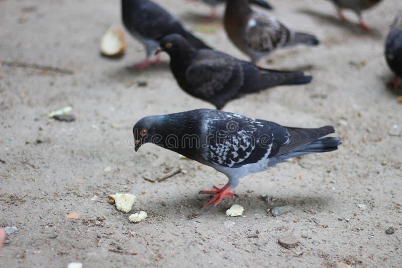 Moltitudine del piccione alla ricerca di alimento fotografia stock