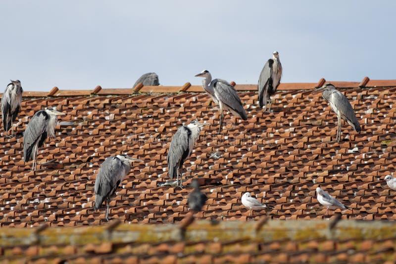 Moltitudine dell'airone su un tetto fotografia stock libera da diritti