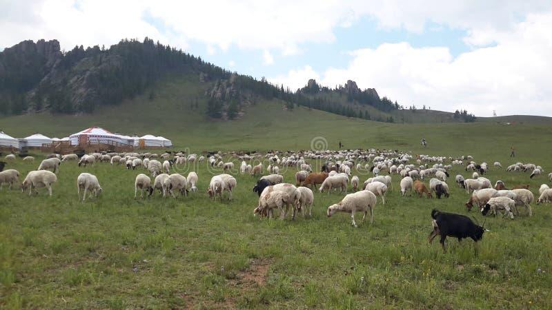 Moltitudine della Mongolia di pecore immagine stock