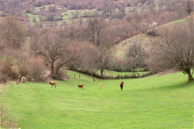 Moltitudine della montagna di mucche fotografie stock libere da diritti