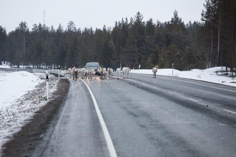 Moltitudine della renna nel modo alla strada immagine stock