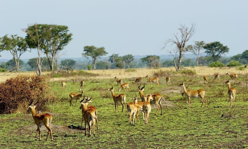 Moltitudine delle antilopi in Africa immagine stock
