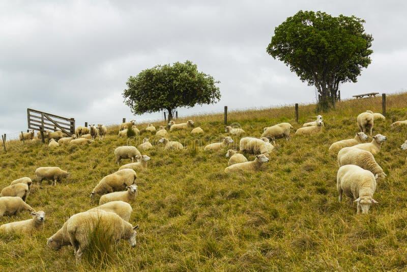 Moltitudine delle pecore che erba a Omana Auckland Nuova Zelanda; Parco regionale immagine stock libera da diritti