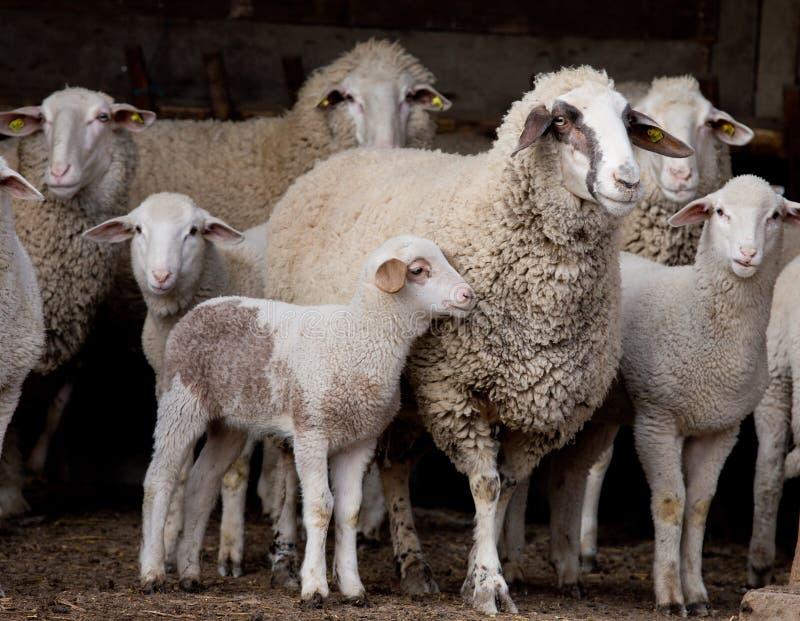 Moltitudine delle pecore sull'azienda agricola fotografia stock