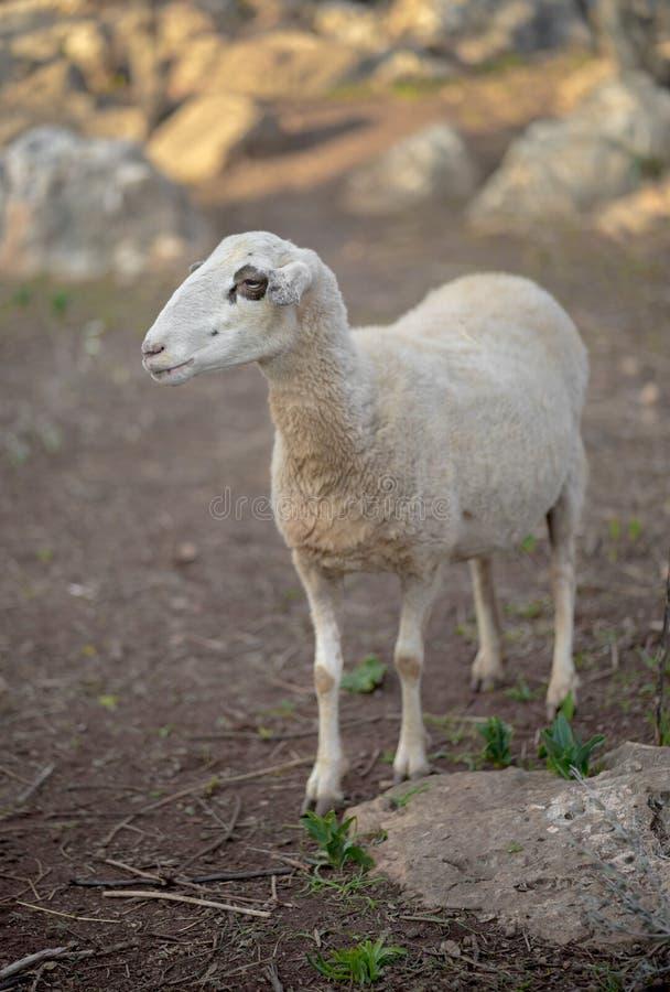 Moltitudine delle pecore in Turchia fotografia stock libera da diritti