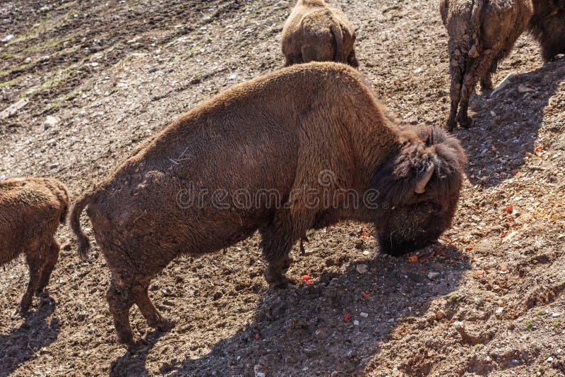 Moltitudine di bisonti in Trentino fotografia stock libera da diritti