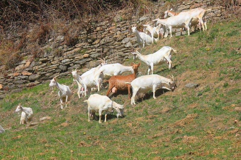 Moltitudine di capre nel campo immagini stock libere da diritti