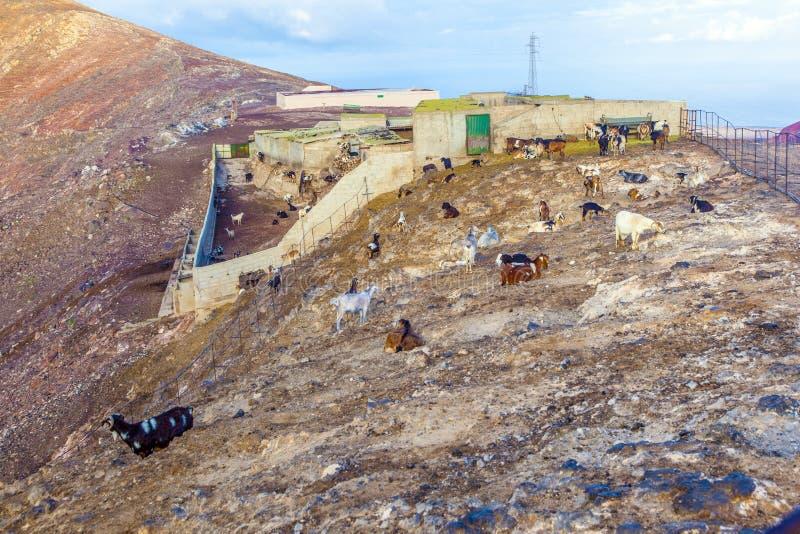 Moltitudine di capre nelle montagne fotografia stock libera da diritti
