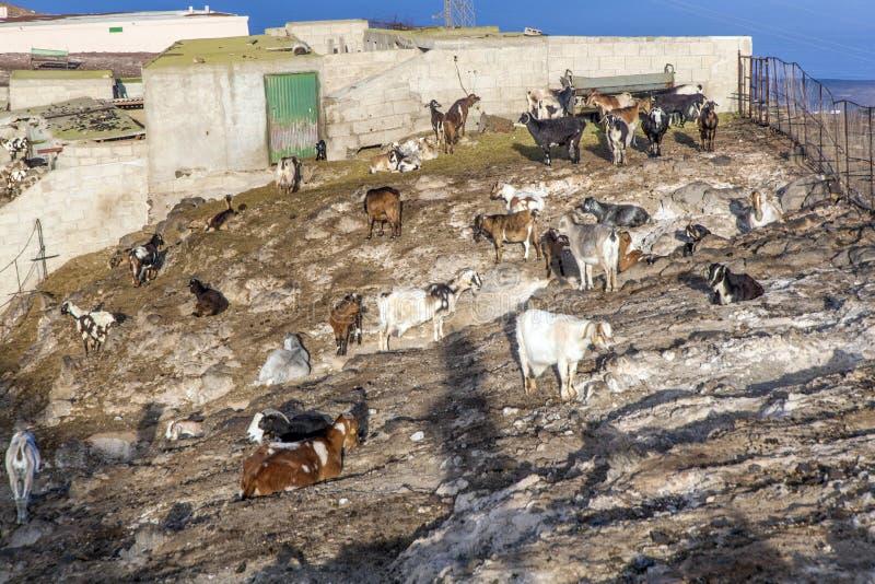 Moltitudine di capre nelle montagne fotografia stock