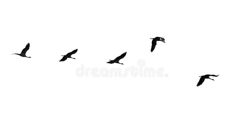 Moltitudine di cigni isolati su fondo bianco immagine stock
