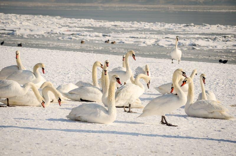 Moltitudine di cigni muti bianchi nella spiaggia coperta dall'immagine di inverno della natura della neve fotografia stock