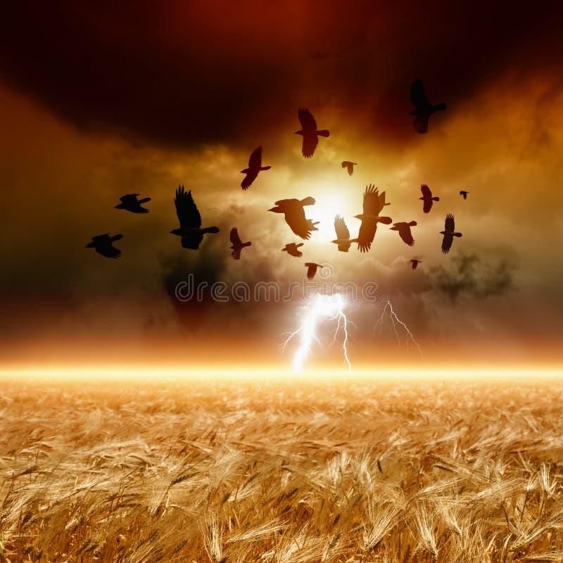 Moltitudine di corvi di volo, campo di frumento fotografia stock