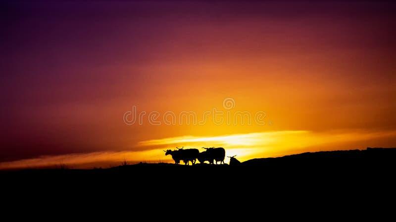 Moltitudine di cucoloris delle capre nell'ambito del tramonto fotografie stock