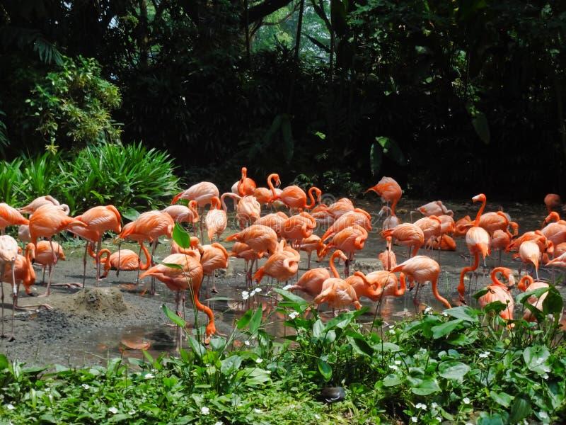 Moltitudine di fenicotteri rosa fotografia stock