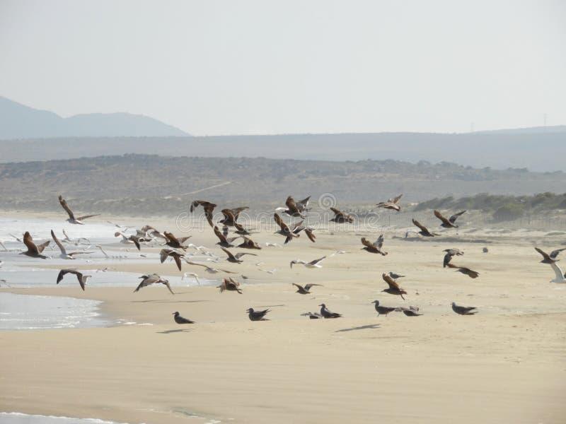 Moltitudine di gabbiani che prendono volo fotografie stock