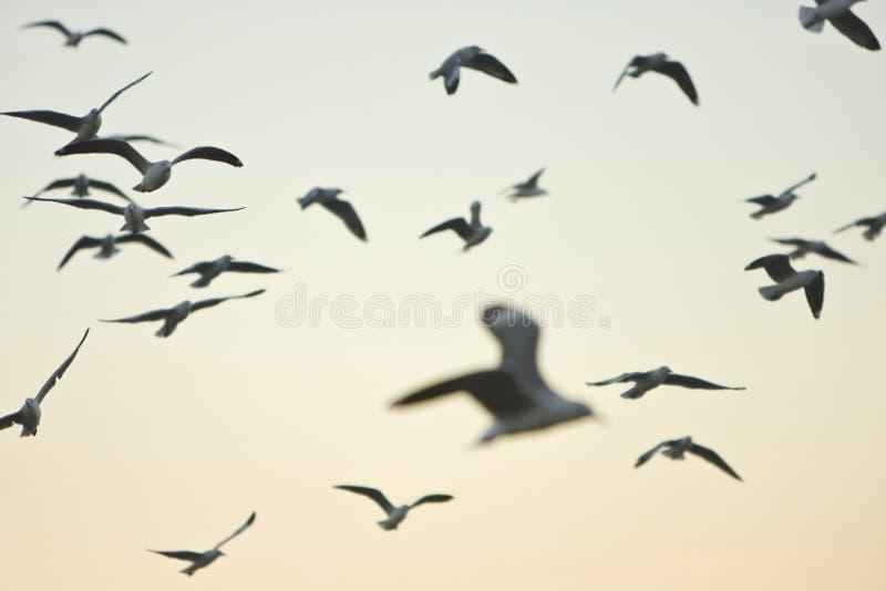 Moltitudine di gabbiani di volo all'alba immagine stock