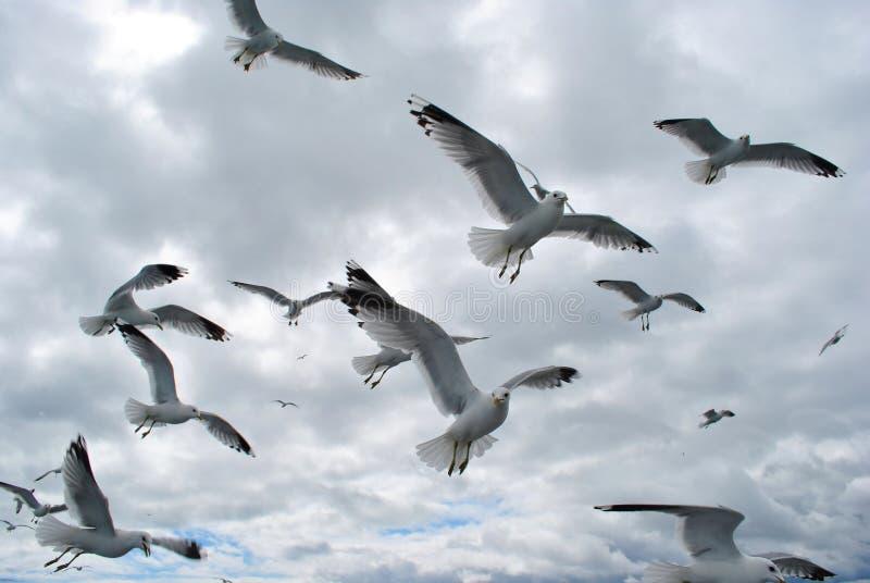 Moltitudine di gabbiani nel Baltico immagini stock