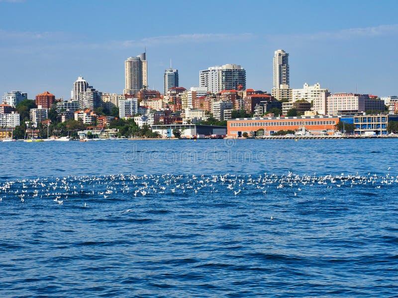 Moltitudine di gabbiani su Sydney Harbour, Australia immagini stock libere da diritti
