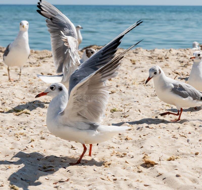 Moltitudine di gabbiani sulla spiaggia fotografie stock libere da diritti