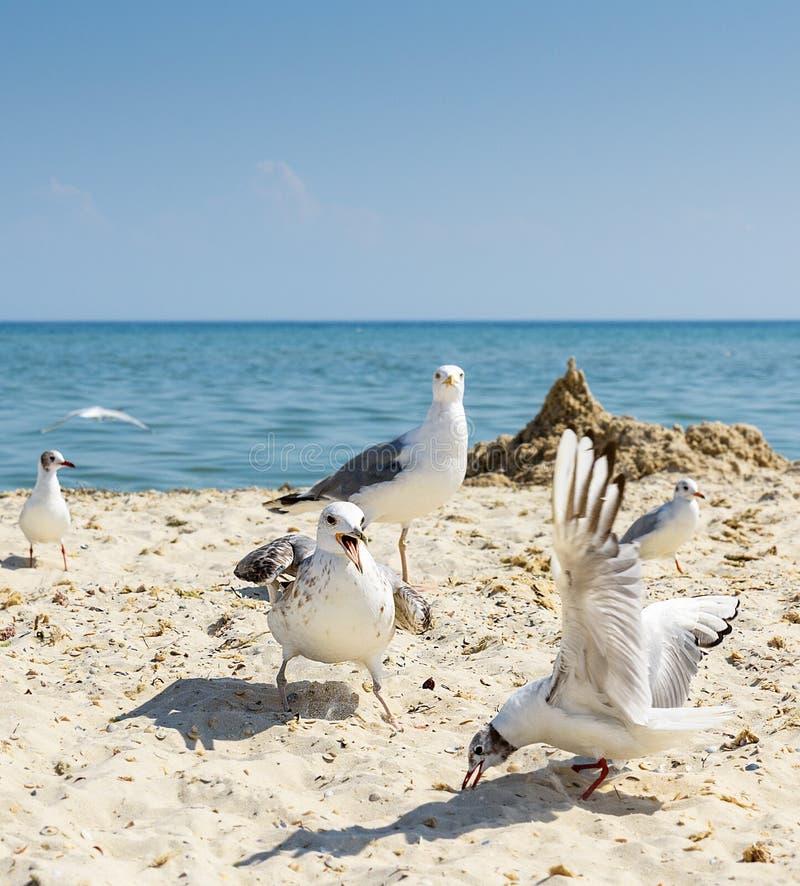 Moltitudine di gabbiani sulla spiaggia immagini stock libere da diritti