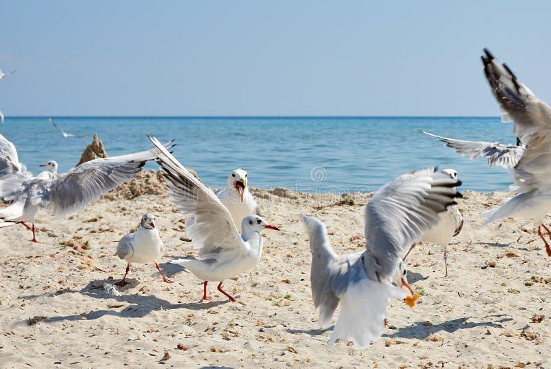 Moltitudine di gabbiani sulla spiaggia fotografia stock libera da diritti