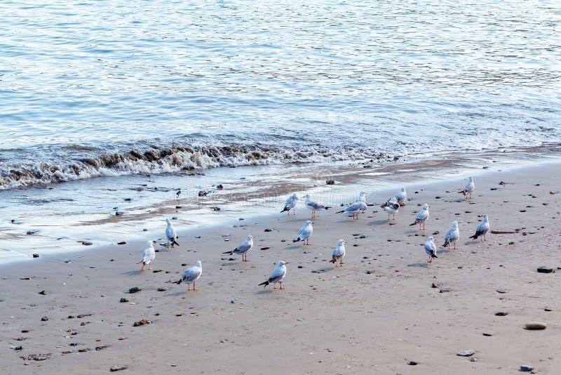 Moltitudine di gabbiani sulla spiaggia sabbiosa immagine stock libera da diritti