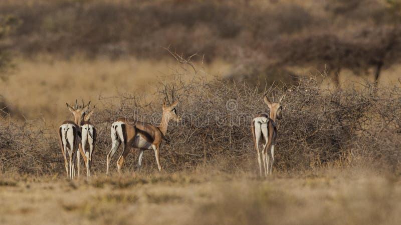 Moltitudine di gazzella di Grant fra i cespugli immagine stock libera da diritti