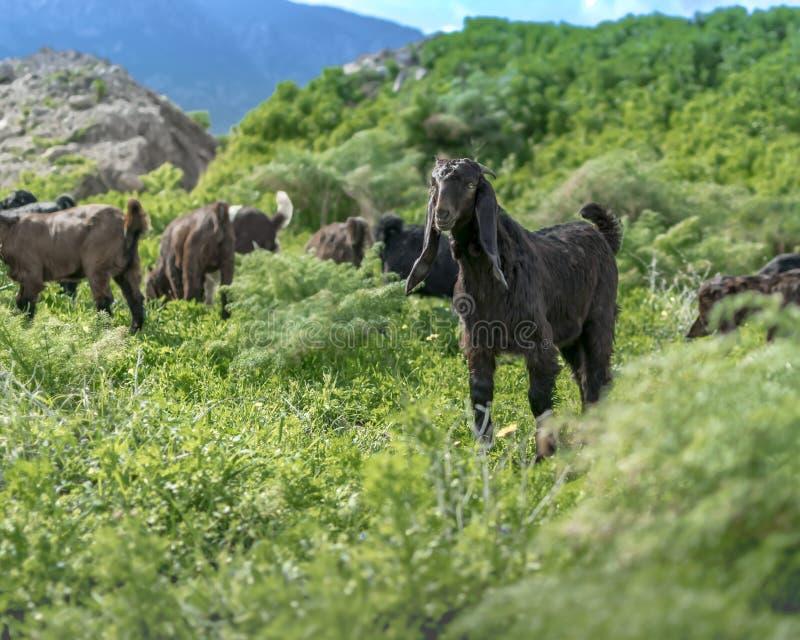 Moltitudine di giovani capre che pascono su un pascolo nelle montagne un giorno di estate soleggiato La razza angla di Nubian del immagine stock libera da diritti
