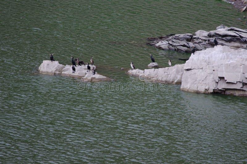 Moltitudine di grandi cormorani immagine stock