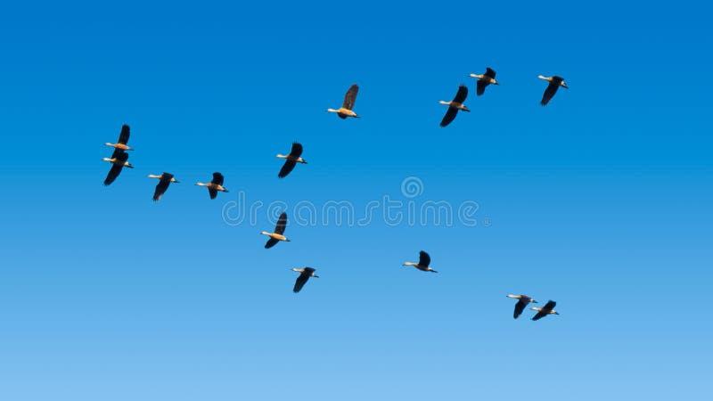 Moltitudine di Lesser Whistling Ducks Flying in cielo blu fotografie stock libere da diritti