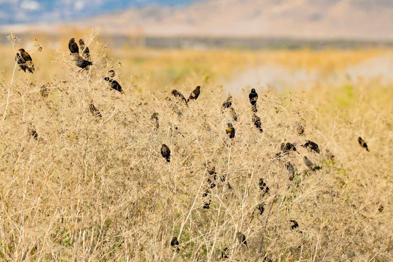 Moltitudine di merli in Bush fotografia stock
