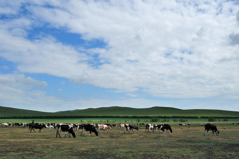 Moltitudine di mucche fotografia stock