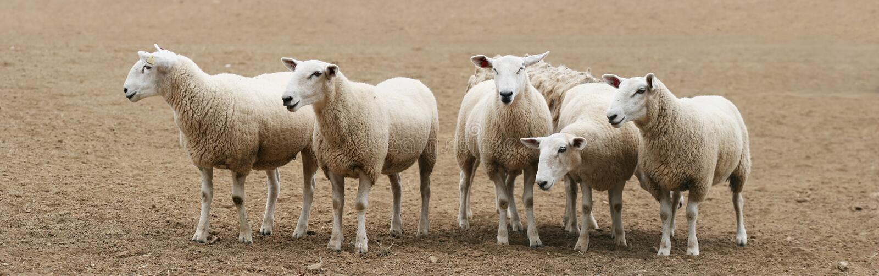 Moltitudine di panorama delle pecore fotografia stock