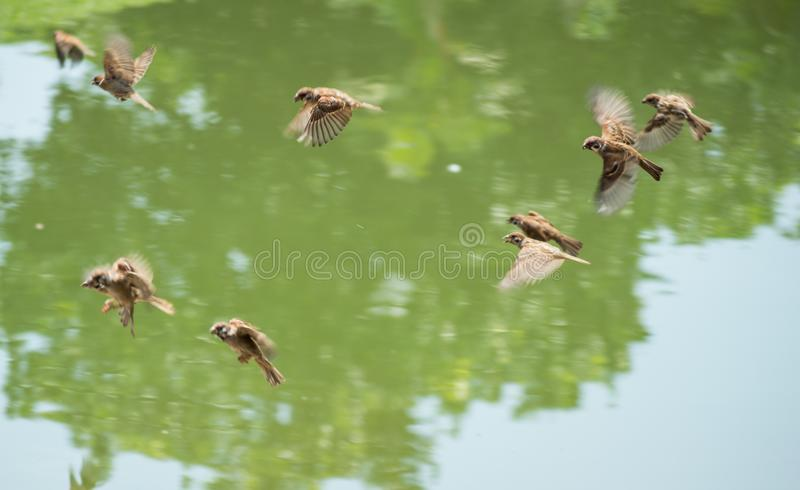 Moltitudine di passeri & di x28; Passante Domesticus& x29; volando vicino al fiume nel giorno soleggiato immagini stock libere da diritti