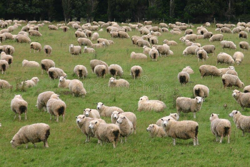 Moltitudine di pecore immagine stock