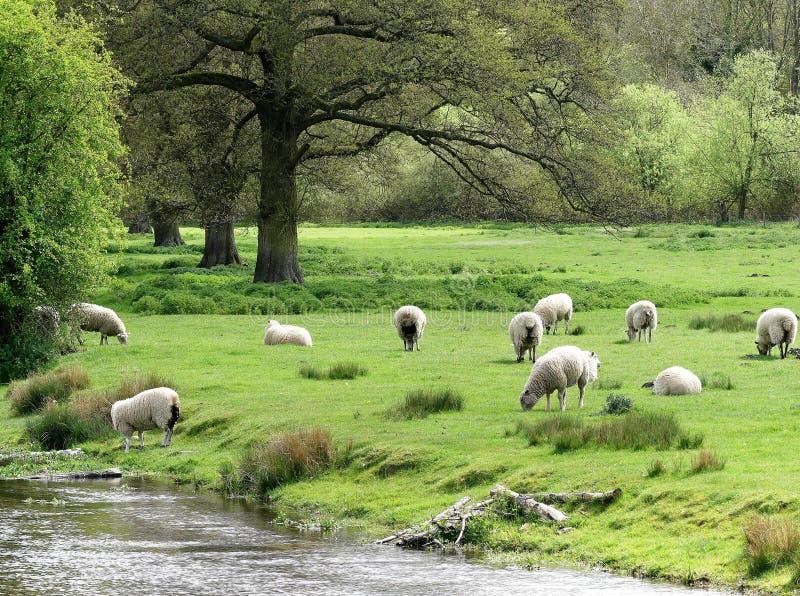 Moltitudine di pecore accanto agli scacchi del fiume a Latimer, Buckinghamshire fotografia stock libera da diritti