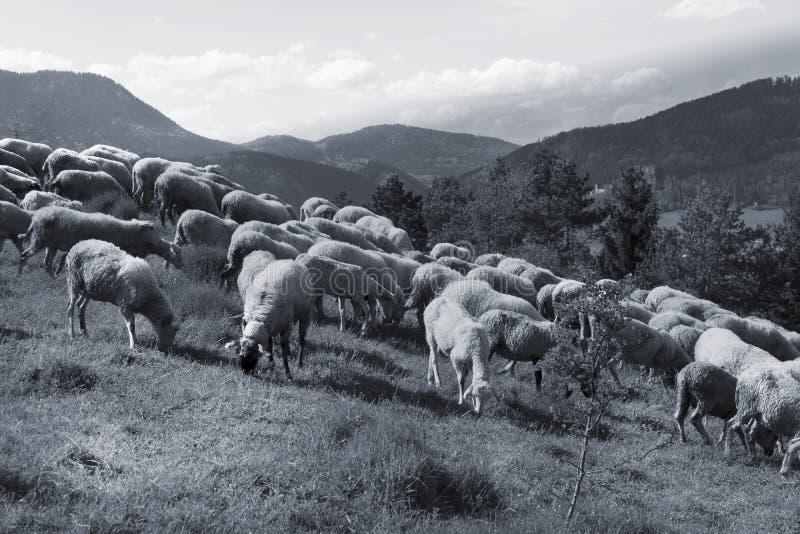 Moltitudine di pecore bianche che pascono in un prato un giorno soleggiato fotografia stock libera da diritti